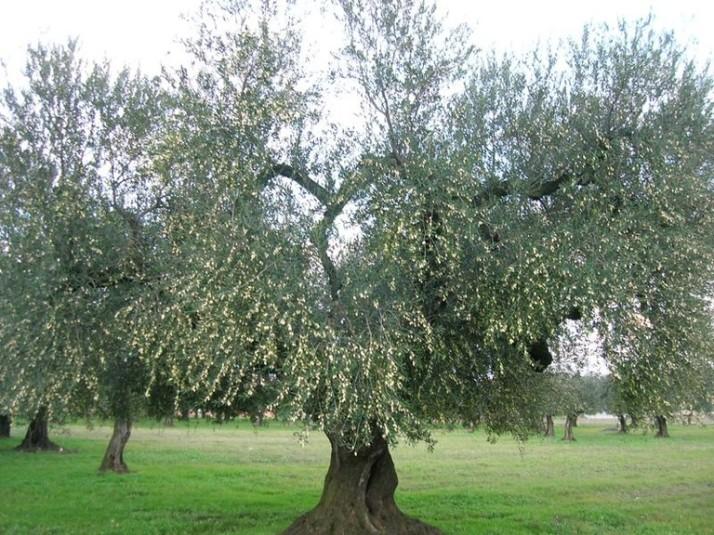 albero-peranzana_2k6144c3